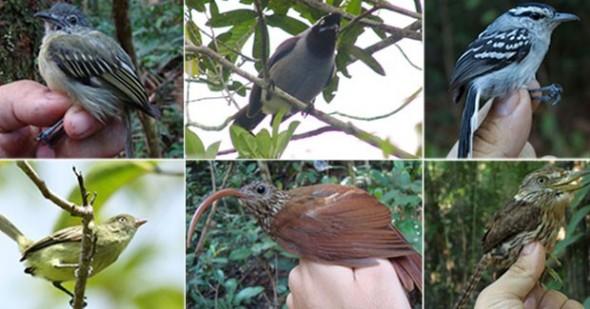 novas especies de aves da amazonia