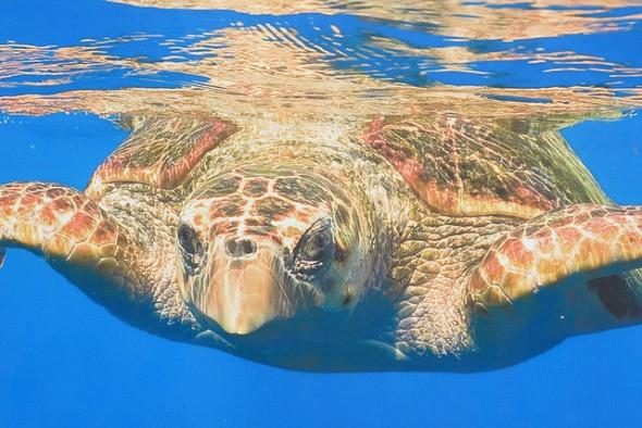 tartaruga de couro