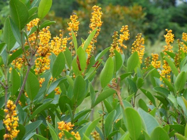 Arbusto de murici-do-campo