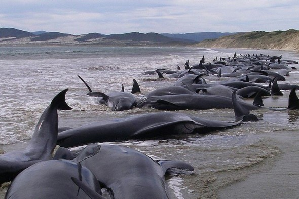 Baleias encalhadas na Indonésia