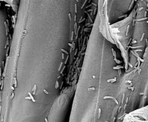 Bactéria Pseudomonas