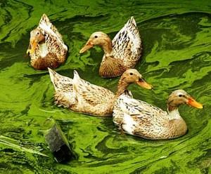 patos floração da água