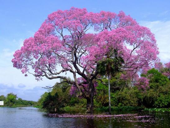 Piuva - Árvore