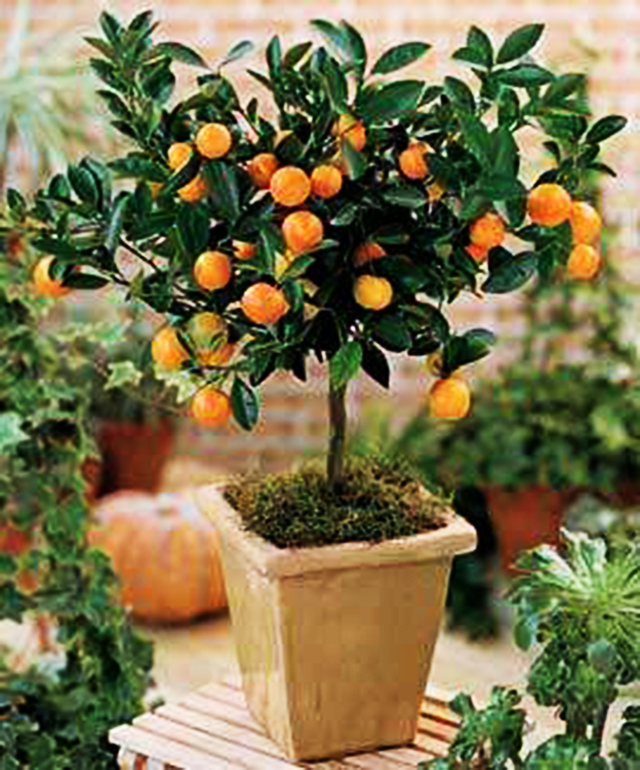 Aprenda A Cultivar Arvores Frutiferas Em Vasos Pensamento