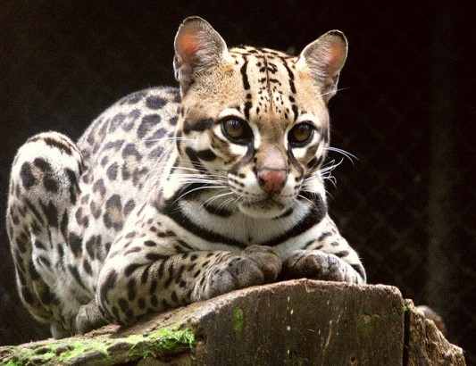 Gato-Maracajá (Leopardus Wiedii)