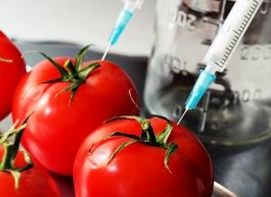 Tomate transgênico
