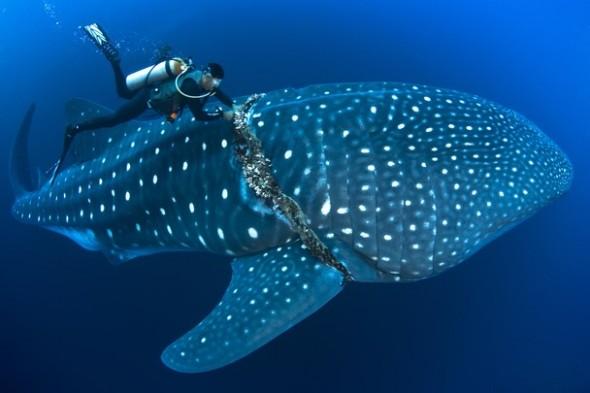 Resgate de tubarão baleia