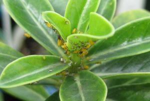 Planta com inseticida natural