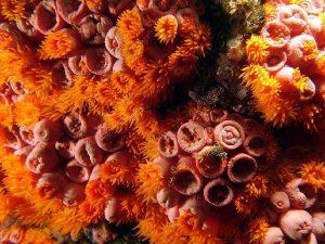 Coral-sol