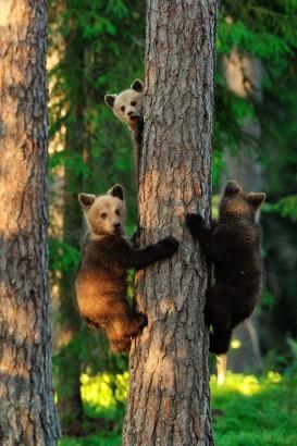 Ursinhos ameaçados