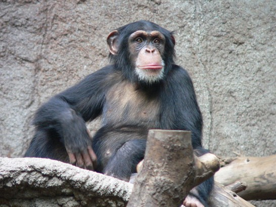 Chimpanzé da Tanzânia