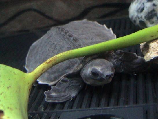 Tartaruga focinho-de-porco