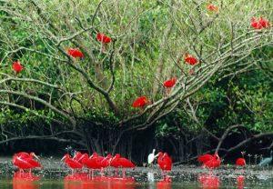 Guará-vermelho
