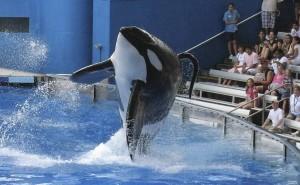 orca Tilikum