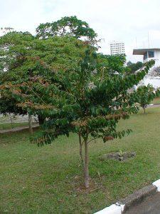 Árvore Jatobá