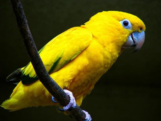 Arara Amarela ameaçada de extinção.