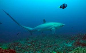 Tubarão raposa