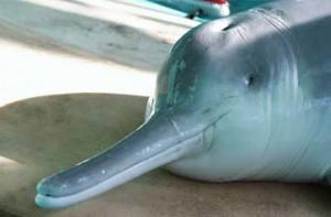 Golfinho baiji