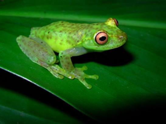 Perereca-verde (Aplastodiscus arildae)