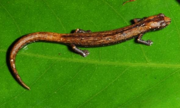 Salamandra (Bolitoglossa tapajonica)