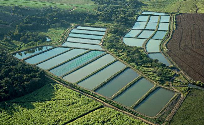 O cen rio da piscicultura no brasil pensamento verde for Que se necesita para criar tilapias