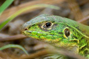 Lagartixa-verde