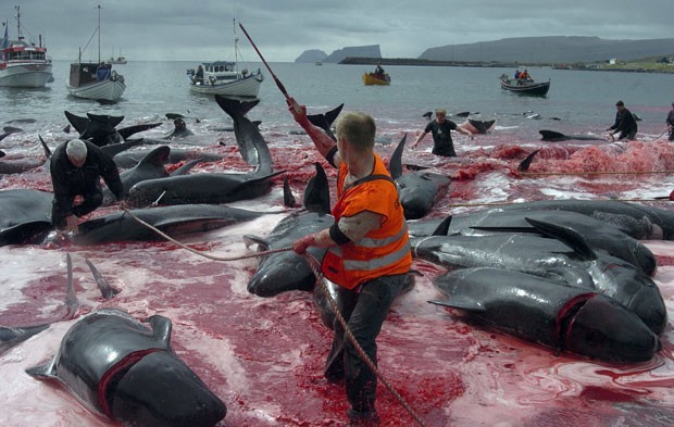 Matança de baleias-piloto