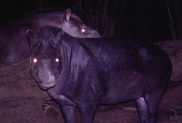 Tapirus Kabomani
